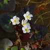 Nymphoides cordata- Little Floating Heart