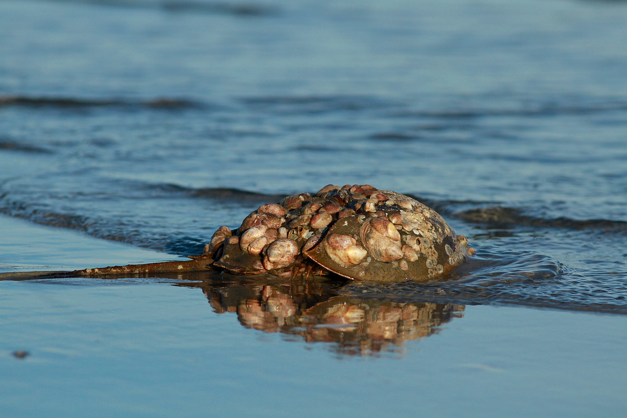 Elder Horseshoe Crab