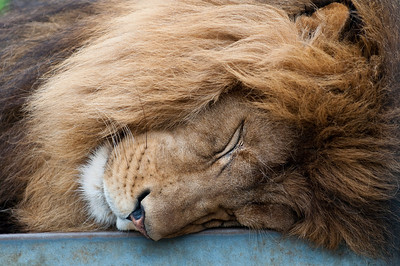 Even the King needs a siesta every now and then...