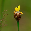 Xyris sp.- Yellow-eyed Grass