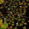 Nymphoides cordata- Little Floating Heart