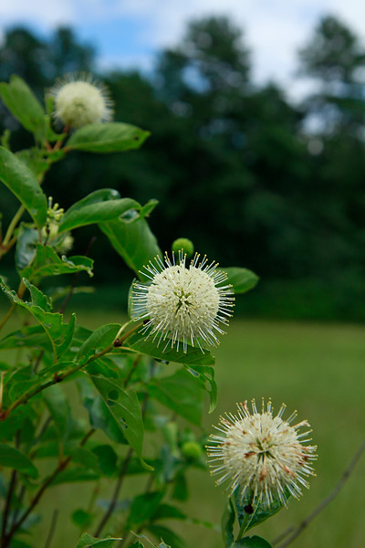 Cephalanthus occidentalis- Buttonbush