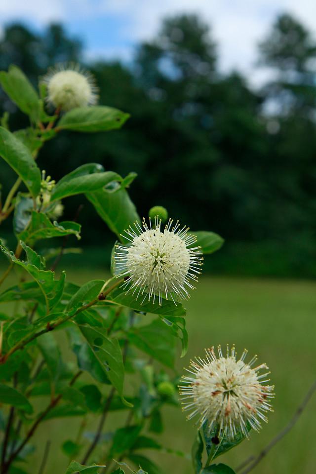 Cephalanthus occidentalis- Buttonbush