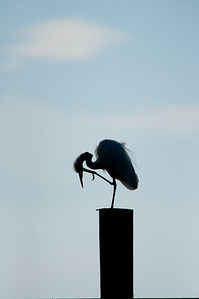 Great Egret. Avian version of the Thinker.