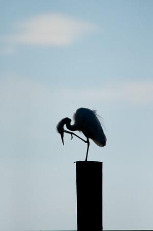 Great Egret. Avian version of the Thinker.