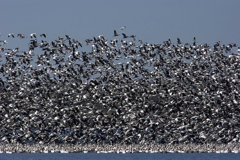 Snow Geese, Branched Oak Lake, Nebraska