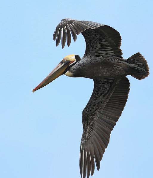 Brown Pelican, Shoreline Lake, Mountain View, CA