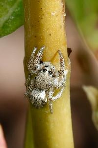Habronattus Spider, Maricopa, AZ