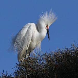 Snowy Egret, Palo Alto Baylands, CA