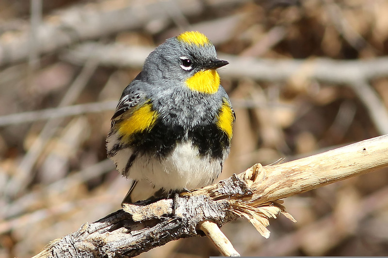 Yellow-Rumped Warbler, Huachuca Mountains, AZ
