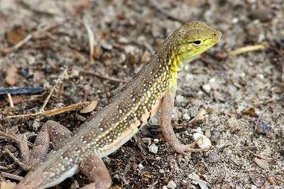 Northern Keeled Earless Lizard, Brooks County Rest Stop, TX