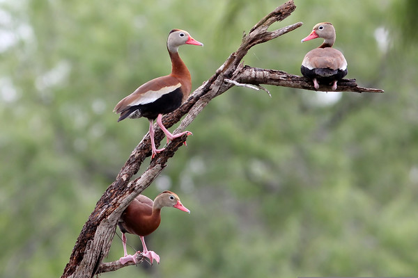 Back-bellied Whistling Ducks, Estero Llano Grande State Park, TX