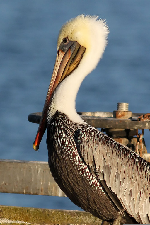 Brown Pelican, Shoreline Lake, Mountain View, CA