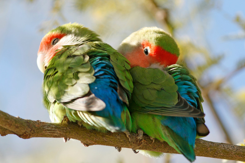 Peach Faced Lovebirds, Arizona
