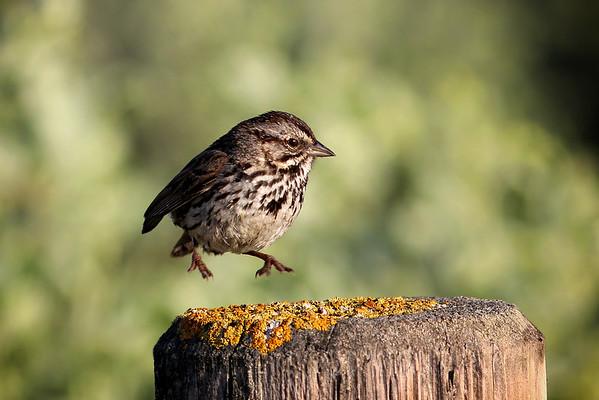 Levitating Sparrow
