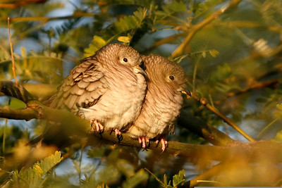 Inca Doves, Gilbert, AZ