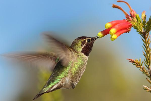 Anna's Hummingbird, Santa Cruz, CA
