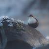 Fossekall / White-throated dipper