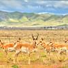 pronghorn antelope 5581
