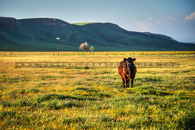 country cow 1026-
