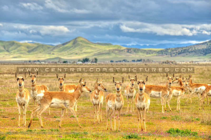 pronghorn antelope 5583