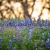 wildflowers oak tree 1093-1093