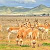 pronghorn antelope 5584