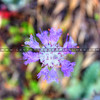 wildflower_1733