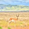pronghorn antelope 5580