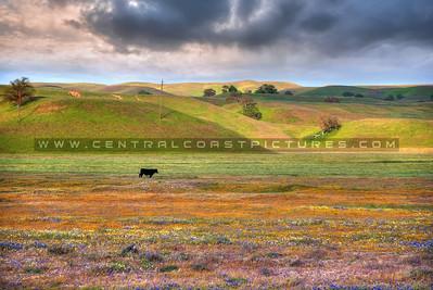 wildflowers cow sunset_0957