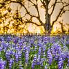 wildflowers oak tree 1107-