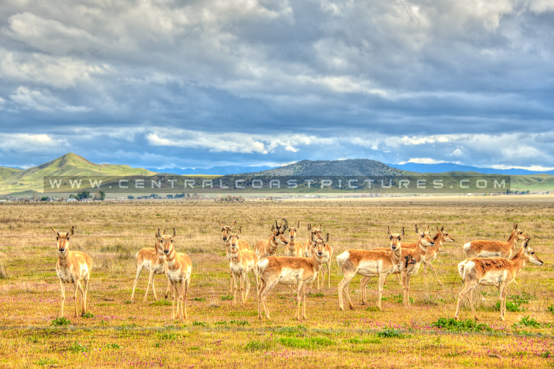 pronghorn antelope 5579