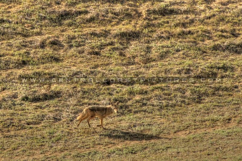 carrizo plain coyote 5606