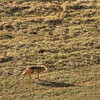 carrizo plain coyote 5606