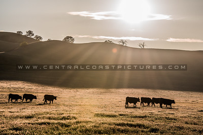 country cows-1046