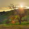 oak tree sun_1068