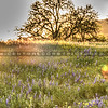 wildflowers oak tree 1126-