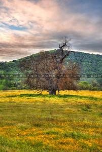 wildflower oak tree sunset_0798