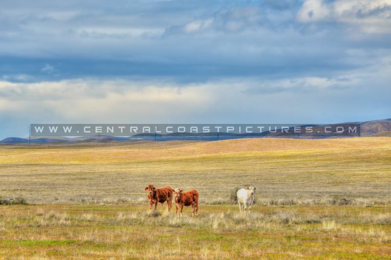 carrizo plain cows 5592