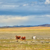 carrizo plain cows 5592