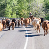 CATTLE CONGESTION