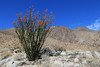 Ocotillo en route to Hellhole Canyon