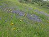Marin Headlands wildflowers.  May 2005.