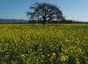 Oak in Mustard Field.  Sonoma Valley, March 7, 2010.