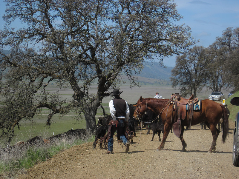 Cowboys clearing cattle blocking Bear Valley Road.