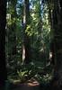 Stout Tree Grove, Jedediah Smith Redwoods State Park