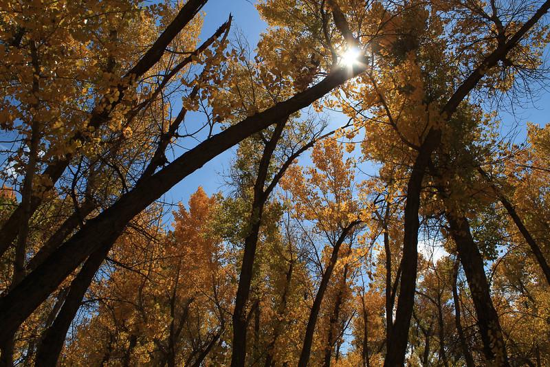 Cottonwoods, Bishop