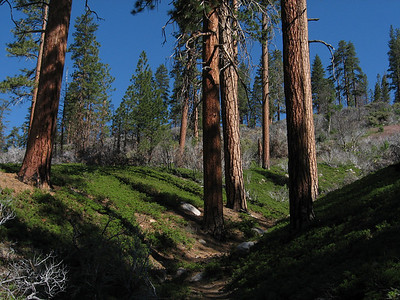 Pines on Hotel Creek Trail