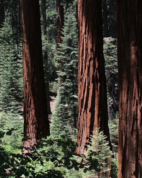 Giant Sequoias at Redwood Mountain Grove