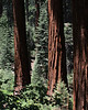 Giant Sequoias at Redwood Mountain Grove